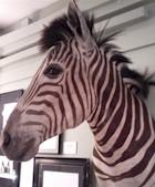 Zebra In The Bathroom